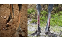 """Роскошная эксклюзивная накладка из натуральной кожи с ноги страуса синяя  для sony xperia c6 / c6 ultra / xa ultra 6.0"""" (f3212 /f3216). только в нашем магазине. количество ограничено"""